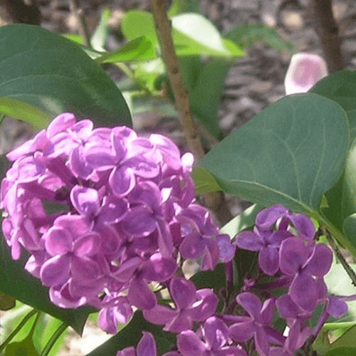 residents of lombard in the jura in france enjoy the lilacs they received from the lombard garden club in 2011 one hundred years earlier colonel william r